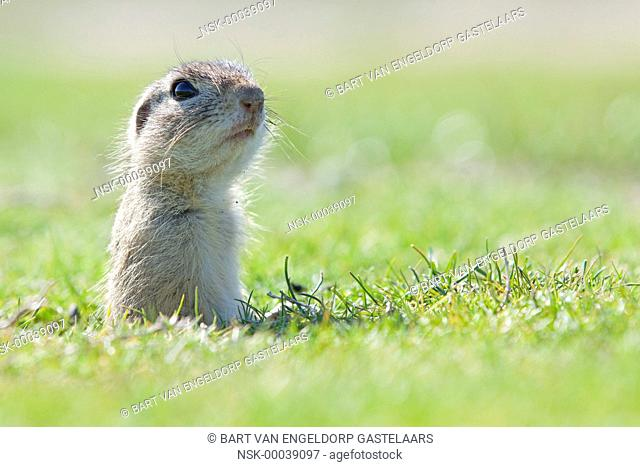 European Ground Squirrel (Spermophilus citellus) popping out of its burrow, Romania, Constana County, Mihail Kogalniceanu