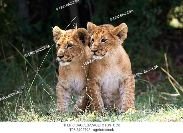 Two young lion cubs (Panthera leo) sitting together, Masai Mara National Reserve, Kenya