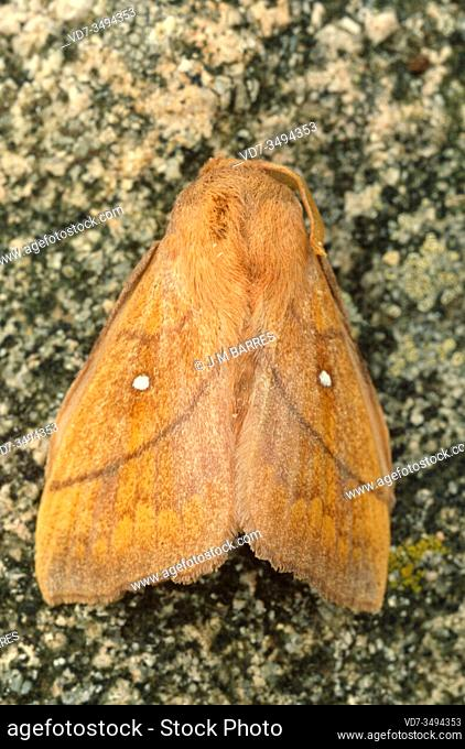 Odonestis pruni is a moth native to Europe