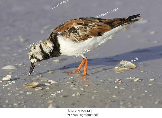 Ruddy turnstone Arenaria interpres looking for food on the shores of Fort de Soto