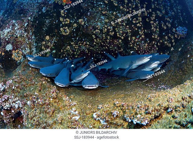 Whitetip Reef Sharks (Triaenodon obesus) resting in cave. Roca Partida, Revillagigedo Islands, Mexico