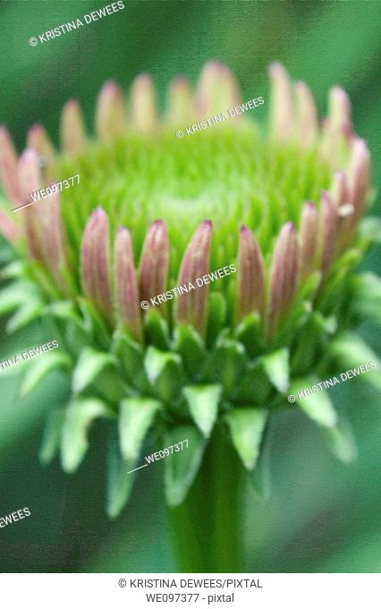 A single pink coneflower bud with canvas effects on the background