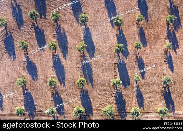 Aerial view of olive groves, Toledo, Castilla-La Mancha, Spain, Europe
