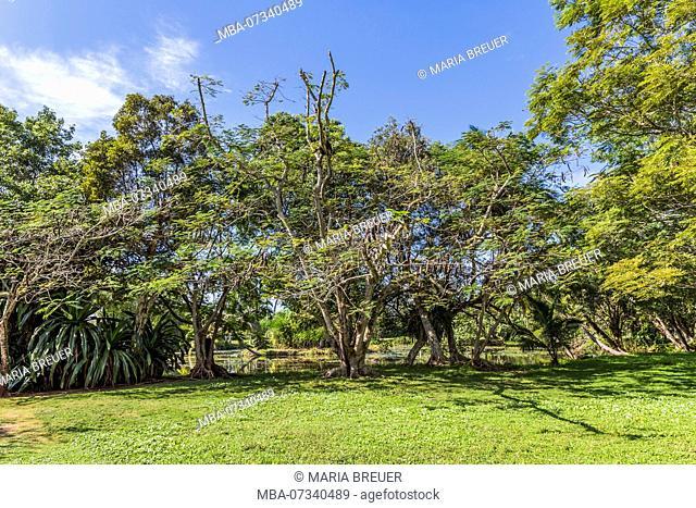 Carob trees, (Ceratonia siliqua), Guamá Nature Reserve, Crocodile farm, Criadero de Crocodilos, Wetland, Matanzas province, Zapata Peninsula, Cuba