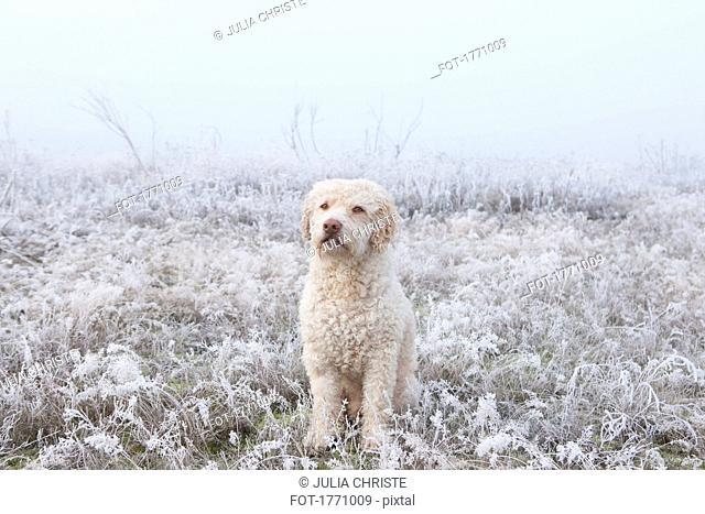 Portrait labradoodle in snowy field