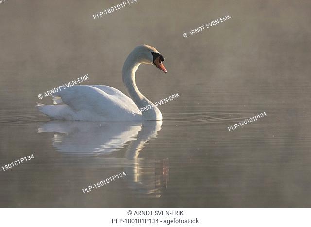 Mute swan (Cygnus olor) swimming in lake covered in early morning mist