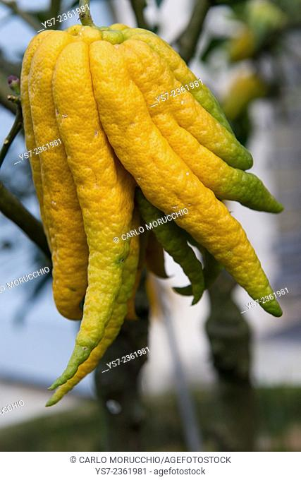 Rare citrus fruits in the gardens of Cervara Abbey, Santa Margherita Ligure, Genova, Liguria, Italia