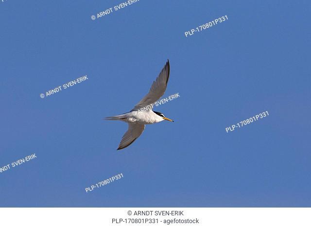 Little tern (Sternula albifrons / Sterna albifrons) in flight against blue sky