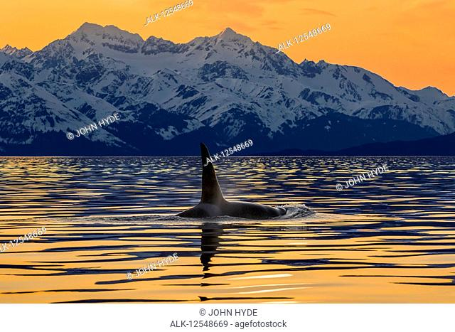An Orca (Orcinus orca), also known as a Killer Whale, surfaces in Lynn Canal with the rugged Chilkat Mountains in the background, Inside Passage; Alaska