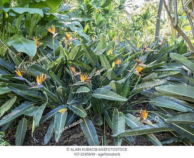 Strelitzia reginae, Jardin de Aclimatacion de la Orotava, Puerto de la Cruz, Tenerife, Islas Canarias, Espagna