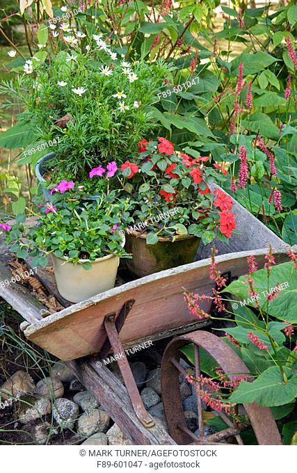 Knotweed frames old wheelbarrow w/ Impatiens, Daisies in containers (Polygonum cv.; Impatiens walleriana). Beebe, Blaine, WA