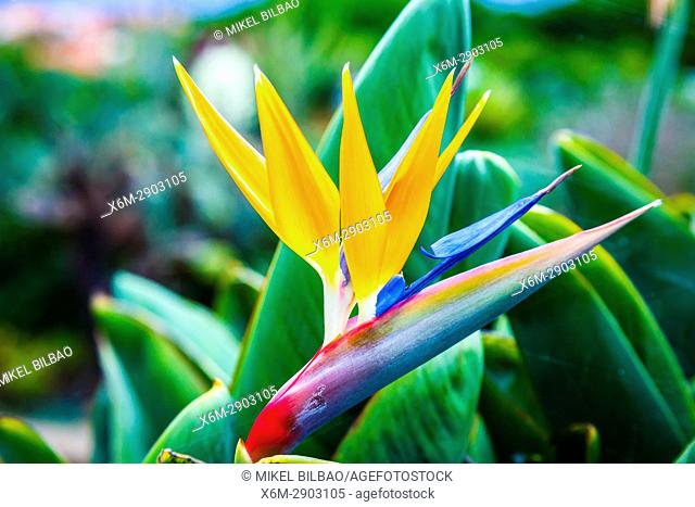 Bird of Paradise (Strelitzia reginae). Madeira Botanical Gardens. Funchal. Madeira, Portugal, Europe