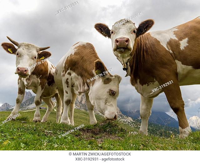 Cows on alpine pasture. Dolomites at Passo Giau. Europe, Central Europe, Italy
