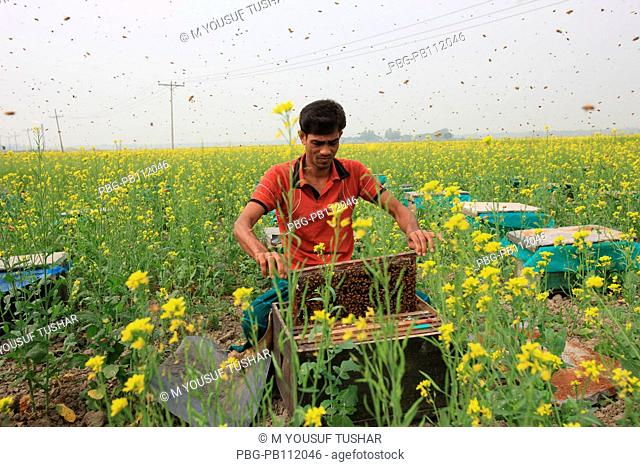 honey cultivation in a mustard field at manikgonj district of Bangladesh