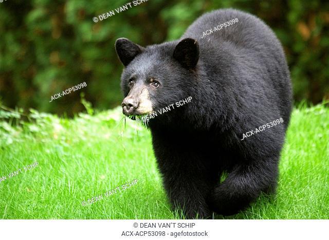 North American Black Bear  Ursus americanas  Eating Grass, Omnivore, Roberts Creek, Sunshine Coast, B.C., Canada