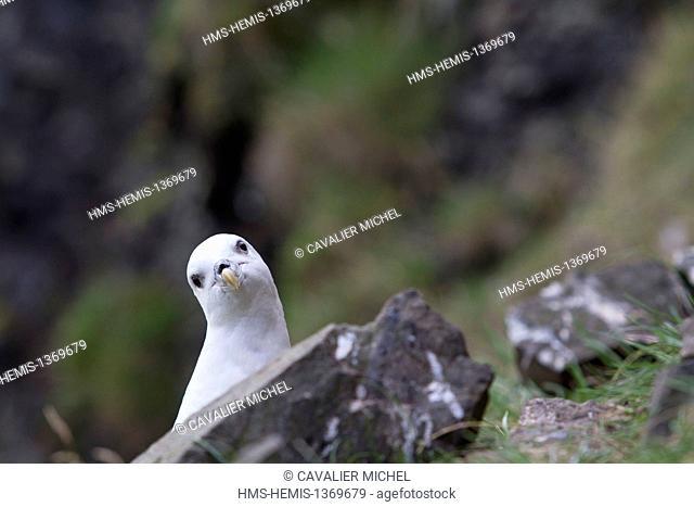 Iceland, Nordurland region, peninsula of Vatnsnes, Hvitserkur, Northern Fulmar or Arctic Fulmar (Fulmarus glacialis)