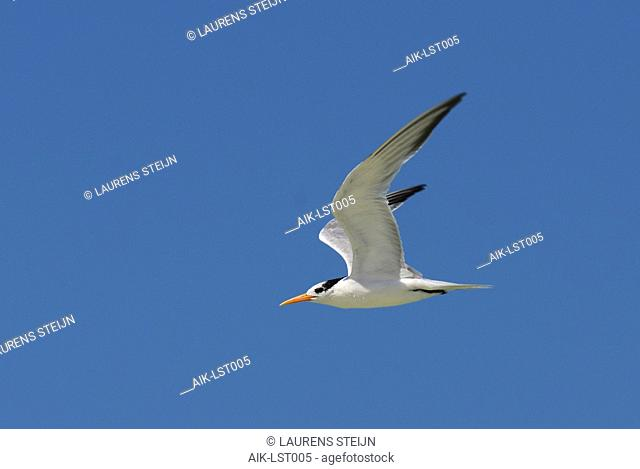 Lesser Crested Tern (Thalasseus bengalensis) in flight against a blue sky as background in Madagascar