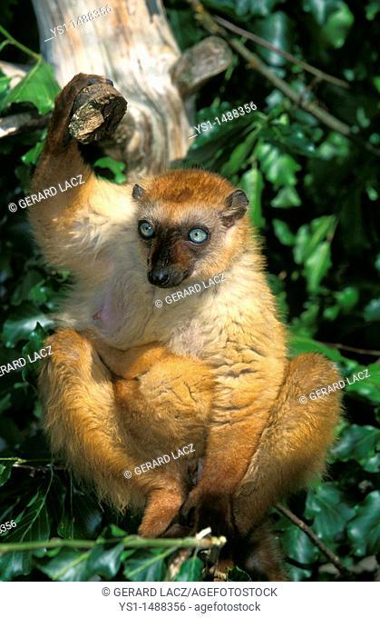 Black Lemur, eulemur macaco, Female standing on Branch