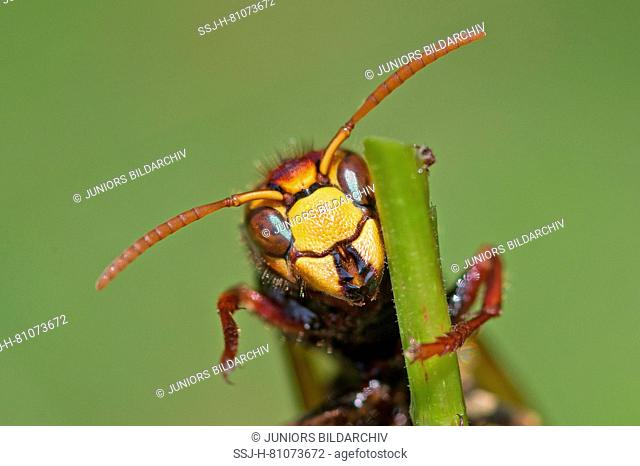 European Hornet, Brown Hornet (Vespa crabro), close-up of head of worker. Germany