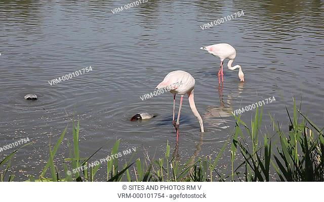 Locked Down Shot, CU. Daylight. Flamingoes Phoenicopterus ruseus and ducks pecking in the water. The Camargue Nature Park
