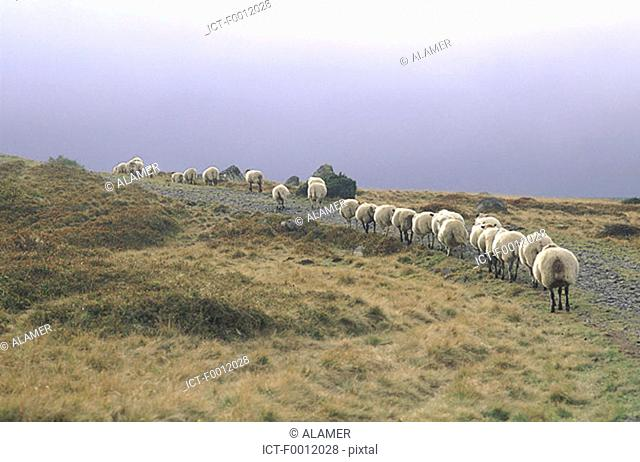Auvergne, sheeps in the Sancy massif
