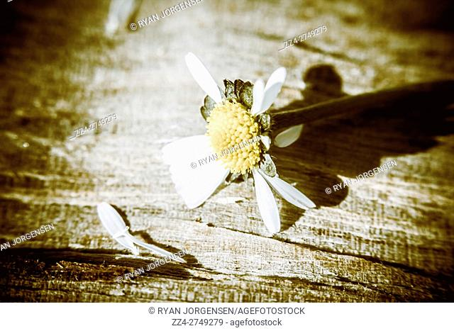 White summer daisy denuded of its petals on a rustic toned wood background with vignette. Loss and letdown