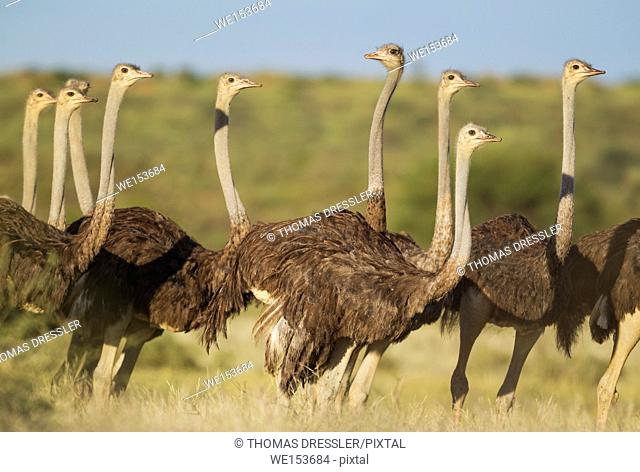 Ostrich (Struthio camelus). Group of females. During the rainy season in green surroundings. Kalahari Desert, Kgalagadi Transfrontier Park, South Africa