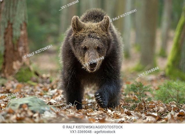 European Brown Bear / Europaeischer Braunbaer ( Ursus arctos ), young cub walking directly towards, frontal shot, seems to be curious, Europe