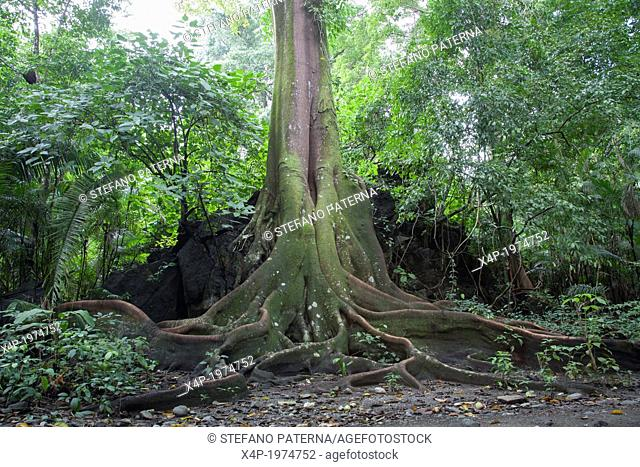 Buttress Roots, Fig Tree, Corcovado National Park, Costa Rica