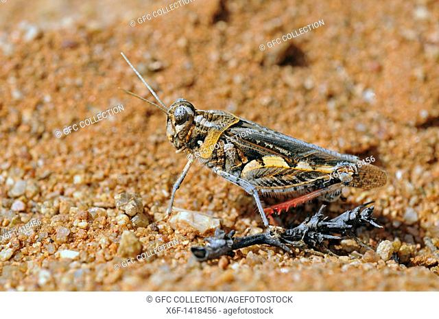 Rhachitopsis, short-horned grasshopper, Acrididae, Goegap Nature Reserve, Namaqualand, South Africa