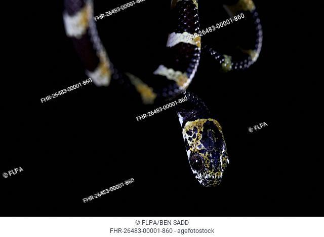 Slender Snail Sucker (Sibon dimidiatus) adult, close-up of head, in cloudforest, Cusuco N.P., Sierra del Merendon, Honduras, July