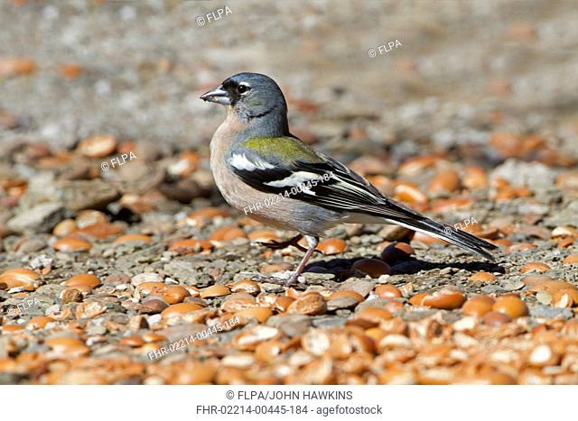 Common Chaffinch (Fringilla coelebs africana) North African subspecies, adult male, feeding on ground, Morocco, March