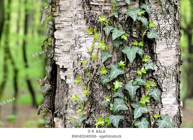 English ivy, common ivy (Hedera helix), ivy-clad at the trunk of a birch, detuschland