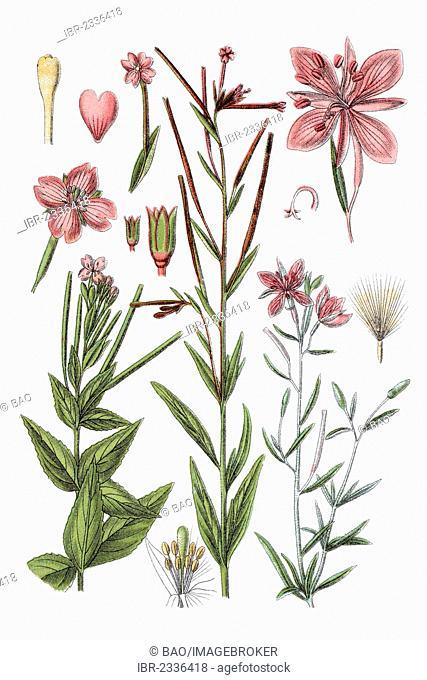 Left: marsh willowherb (Epilobium palustre), Middle: willowherb (Epilobium trigonum), right: Alpine Willowherb (Epilobium fleischeri), medicinal plant