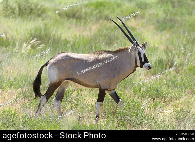 Gemsbok (Oryx gazella), young, walking in the tall grass, Kgalagadi Transfrontier Park, Northern Cape, South Africa, Africa