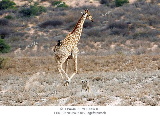 Transvaal Lion (Panthera leo krugeri) adult female, hunting, chasing Cape Giraffe (Giraffa camelopardalis giraffa) adult, Kalahari Gemsbok N.P