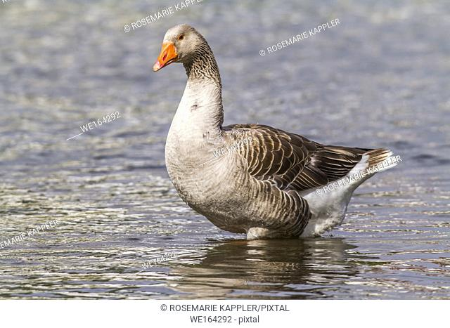 Domestic goose on the river Blies near Homburg