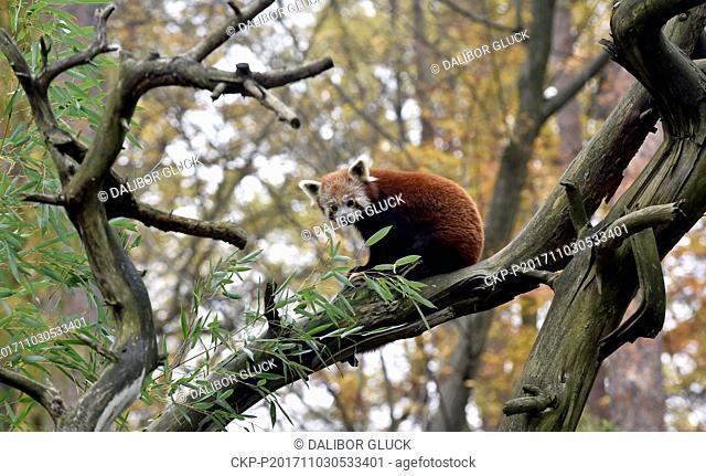 Red panda sits in a tree in the zoo Zlin, Czech Republic, November 3, 2017. (CTK Photo/Dalibor Gluck)