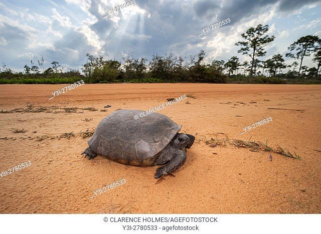 A Gopher Tortoise (Gopherus polyphemus) crosses a dirt road in a scrubby pine flatwoods habitat in Highlands Hammock State Park in Sebring, Florida