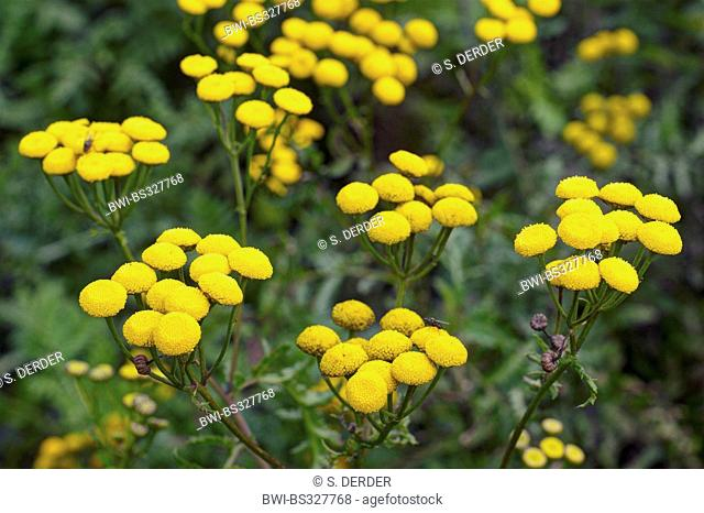 common tansy (Tanacetum vulgare, Chrysanthemum vulgare), blooming, Germany, NRW
