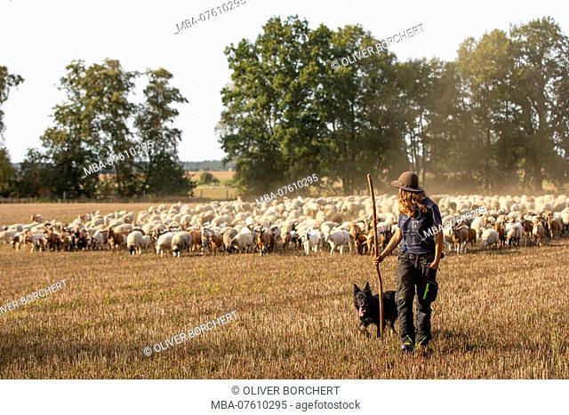 Germany, Mecklenburg-Western Pomerania, shepherdess with dog and herd