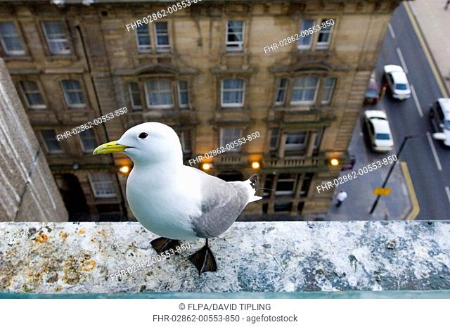 Kittiwake Rissa tridactyla adult, nesting on building in city centre, Newcastle, Tyne and Wear, England, june