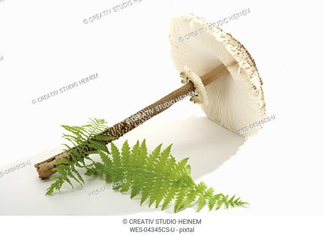 Parasol mushroom, close-up