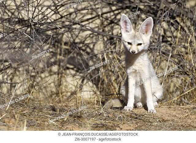 Cape fox (Vulpes chama), young male sitting at den early in the morning, alert, Kgalagadi Transfrontier Park, Northern Cape, South Africa, Africa