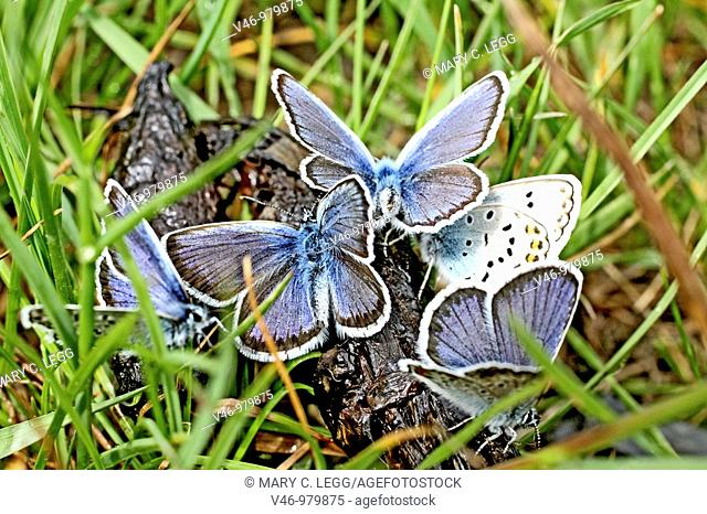 Swarming Reverdin Blue, Plebeius argyrognomon on a grass  Reverdin Blues swarm after emerging in grass  Males  Milovice, Czech Republic  Early June