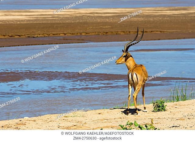 A male impala (Aepyceros melampus) at the Ewaso Nyiro River in Samburu National Reserve in Kenya