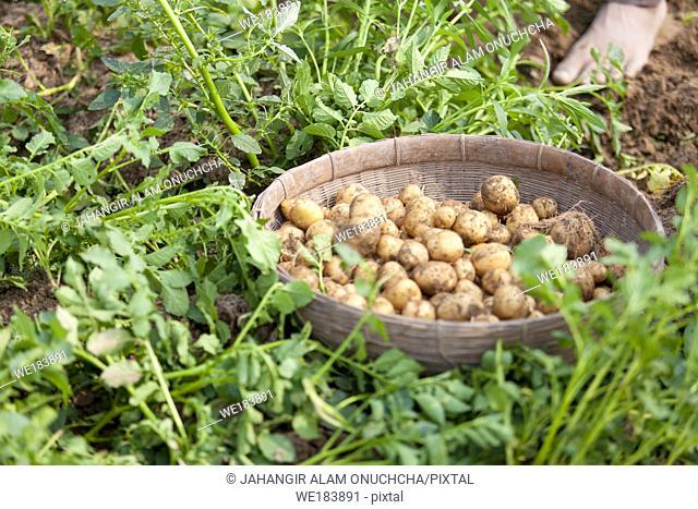 Roots full potatoes are showing a worker at Thakurgong, Bangladesh