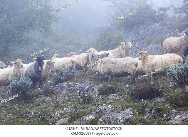 Latxa sheep flock in the mist. Aralar mountain range. Navarre, Spain, Europe