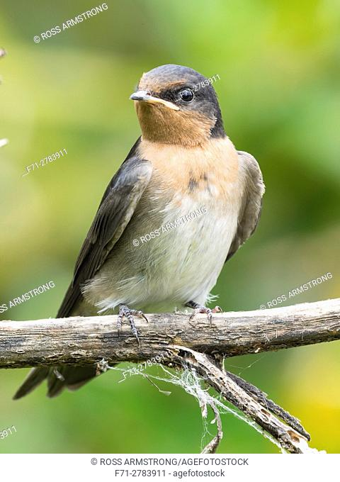 Young welcome swallow (Hirundo neoxena) is a small passerine bird in the swallow family. Barge Park, Whangarei, New Zealand