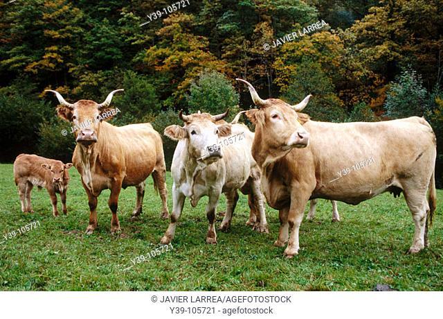 Pyrenean breed cattle, Irati, Navarre, Spain
